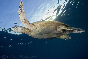 Hawksbill turtle just after sunrise. Marsa Alam. D3, 16mm. by Derek Haslam 